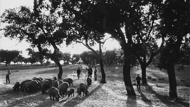 Osobreiro(Quercus suber), é umaespécieflorestalque se distribui pela zona mediterrânica onde se faz sentir maior influência Atlântica, estas características ocorrem sobretudo em Portugal, pelo que é este pais que tem melhores […]